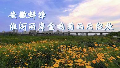安徽蚌埠:淮河两岸金鸡菊雨后绽放