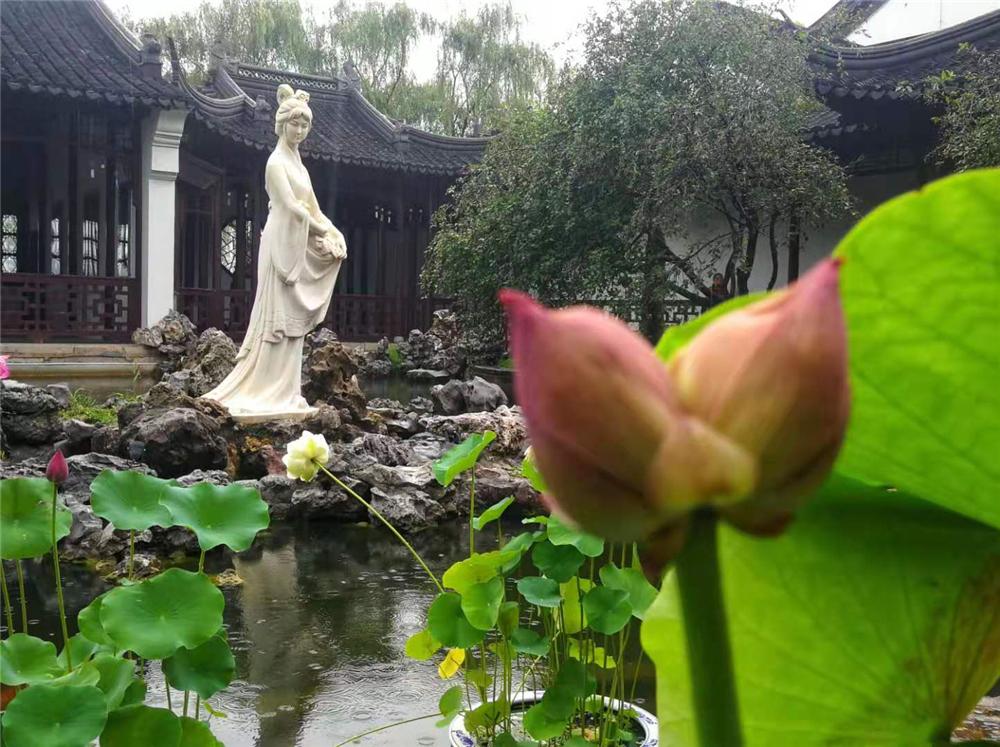 6月18日下午,南京莫愁湖公园内刚刚发现的一株并蒂莲含苞待放,引来市民前来围观。 李昆 摄