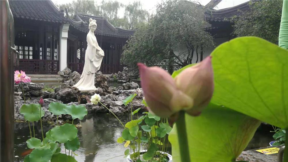 """游客徐先生告诉记者,自从2011年莫愁湖公园发现""""并蒂莲""""以来,十年来,每一年景区都会出现""""并蒂莲"""",多则三四枝,少的也有一枝。 李昆 摄"""