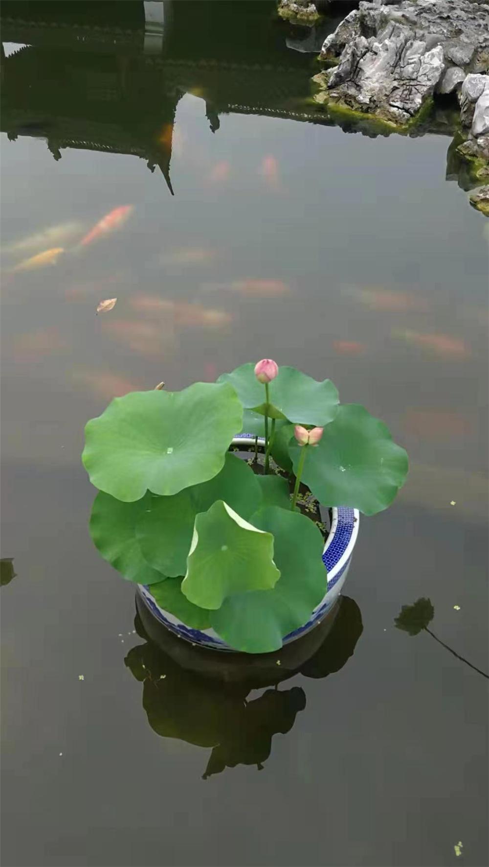 """莫愁湖,历史悠久的江南古典名园,""""莫愁烟雨""""列为""""金陵四十八景""""之首。远在明清时期,莫愁湖就大量栽植荷花。 李昆 摄"""